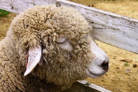 夏の羊さん.jpg